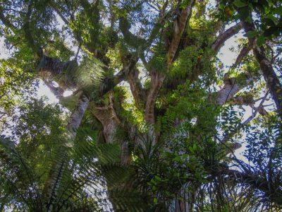 Baumkrone eines Kauri Tree