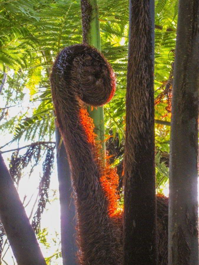 Kauri_Trees_Neuseeland-erleben-info_03