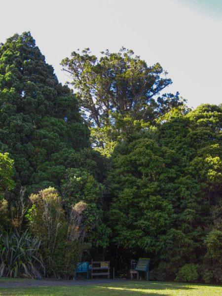 Kauri Tree erhebt sich über den Wald