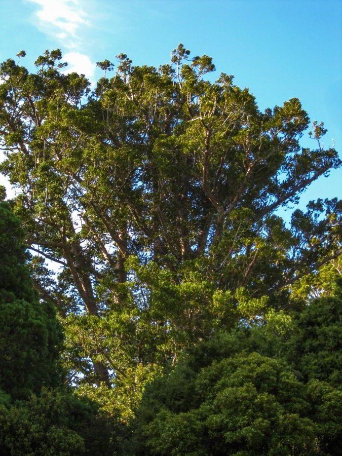 Kauri Tree im Trounson Kauri Park