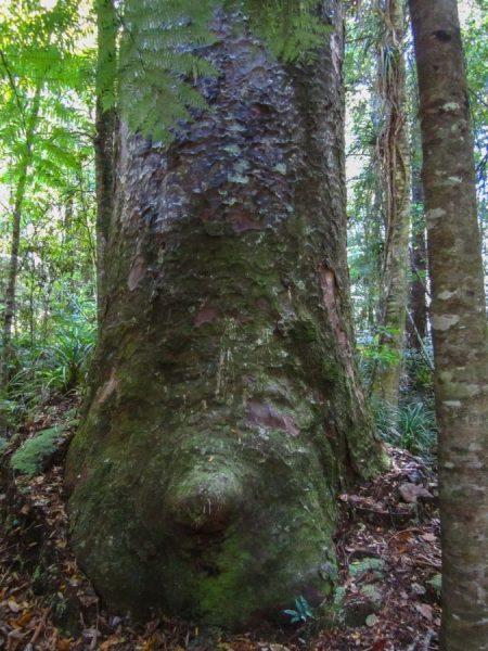 Unten schon von Moos bewachsen - ein Kauri Baum