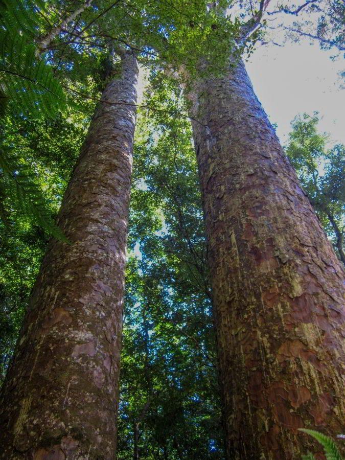 Kauri_Trees_Neuseeland-erleben-info_08