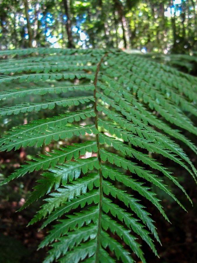 Kauri_Trees_Neuseeland-erleben-info_09