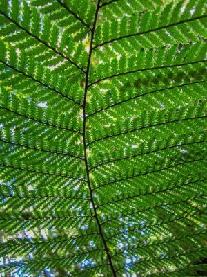 Ein Farnblatt von unten