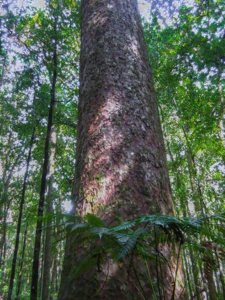 Ein Kauri Stamm