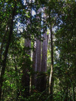 Kauri Bäume im Wald