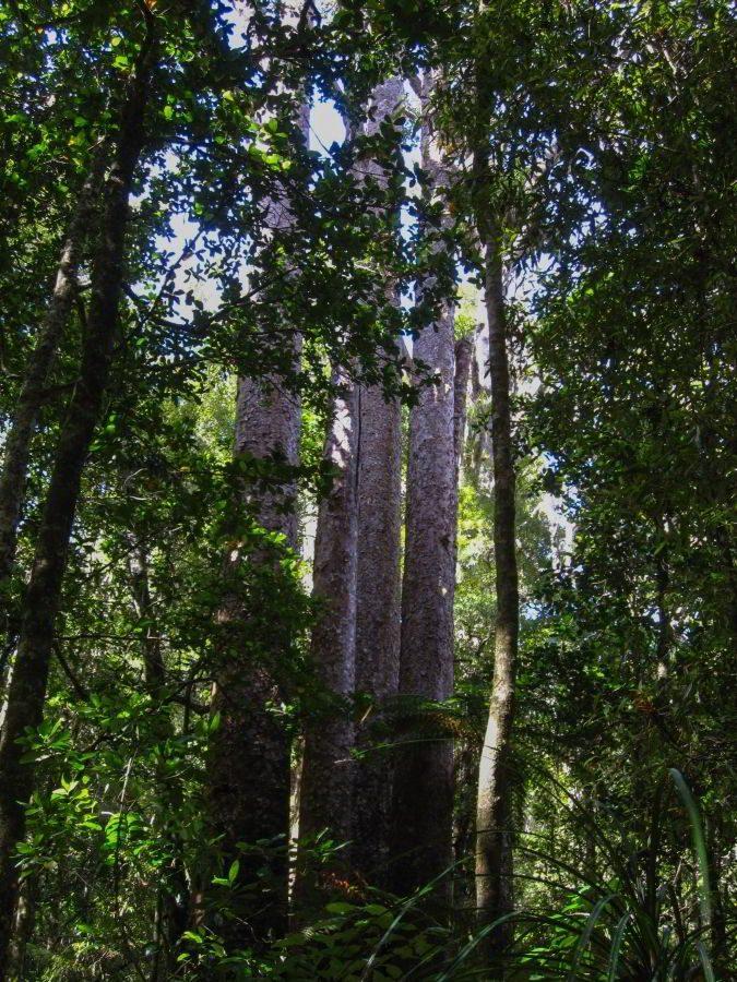 Kauri_Trees_Neuseeland-erleben-info_12