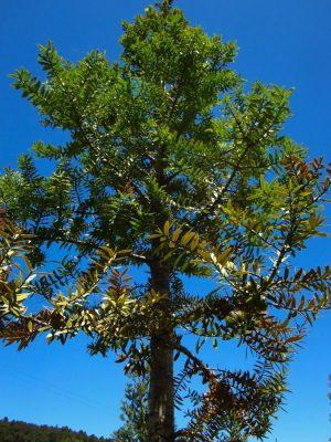 Junger Kauri Baum aus der Nähe