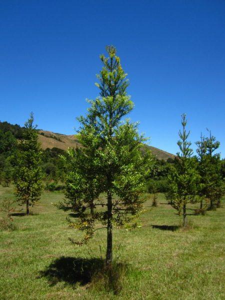 Junger Kauri Baum