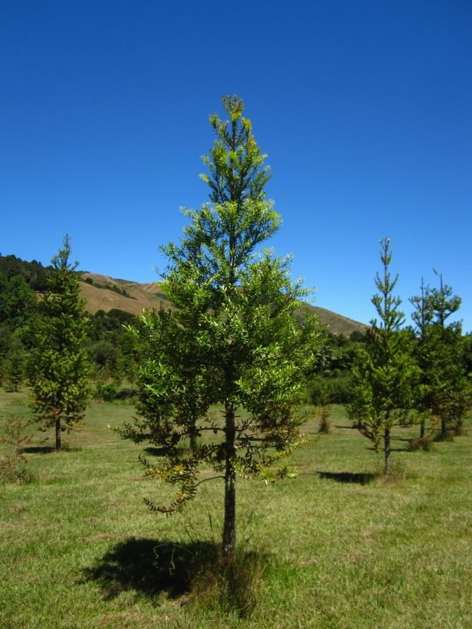 Kauri_Trees_Neuseeland-erleben-info_14