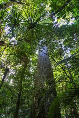 Großer Kauri-Stamm im Wald