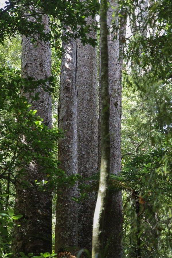 Kauri_Trees_Neuseeland-erleben-info_16