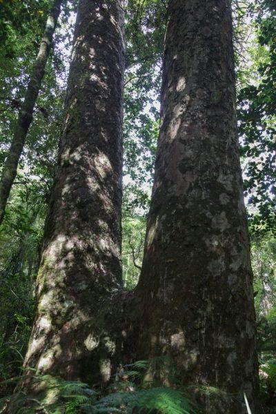 Kauri Bäume die zusammengewachsen sind.