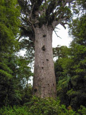 Tane Mahuta - der große Kauri Baum