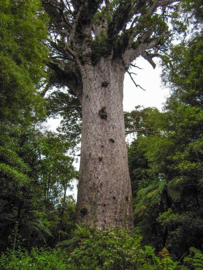 Kauri_Trees_Neuseeland-erleben-info_18