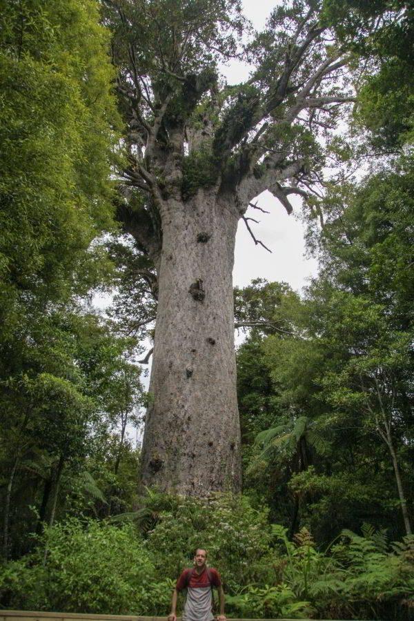 Größenvergleich zwischen Mensch und Kauri