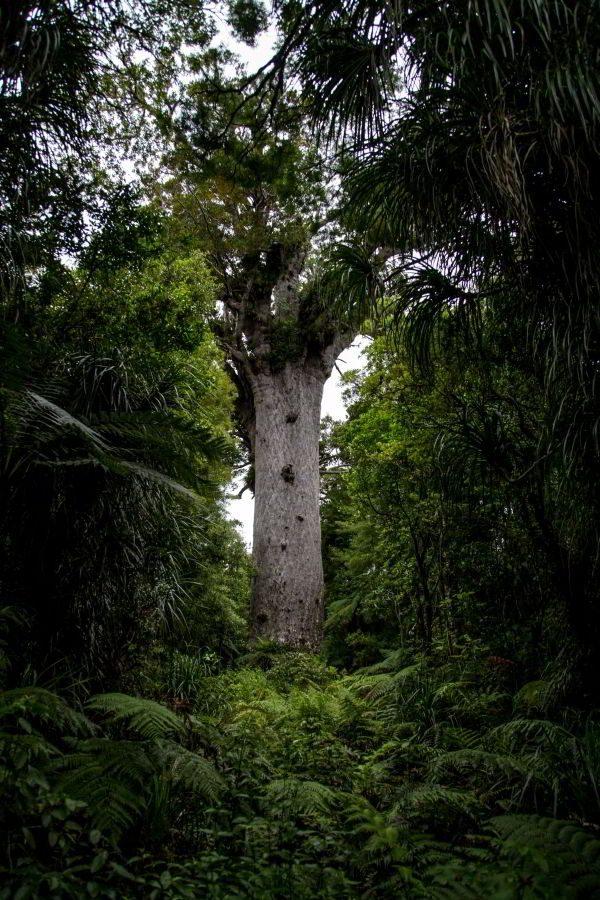 Kauri_Trees_Neuseeland-erleben-info_21