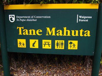 Kauri_Trees_Neuseeland-erleben-info_24