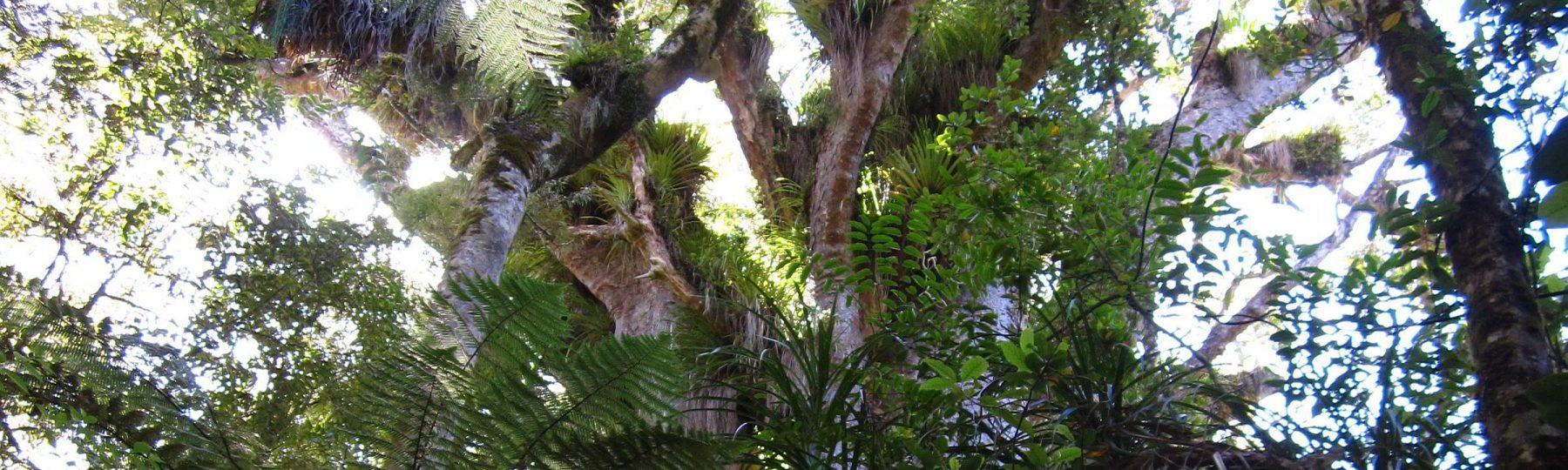 Kauri Tree auf Neuseeland