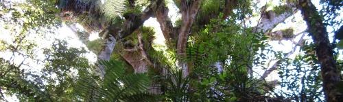 Kauri Tree – der grüne Riese Neuseelands