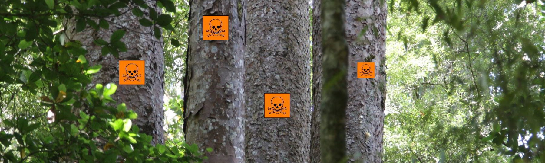 Kauri Bäume auf Neuseeland