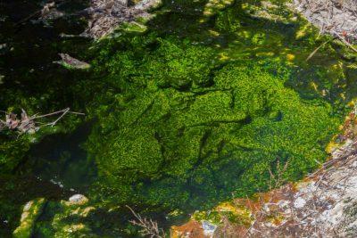 giftgrüne Moose im Wasser - Waimangu Volcanic Valley