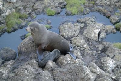 Robben Mama mit Kind auf der Otago Peninsula bei Dunedin