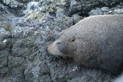 Robbe liegt auf einem Stück Felsen