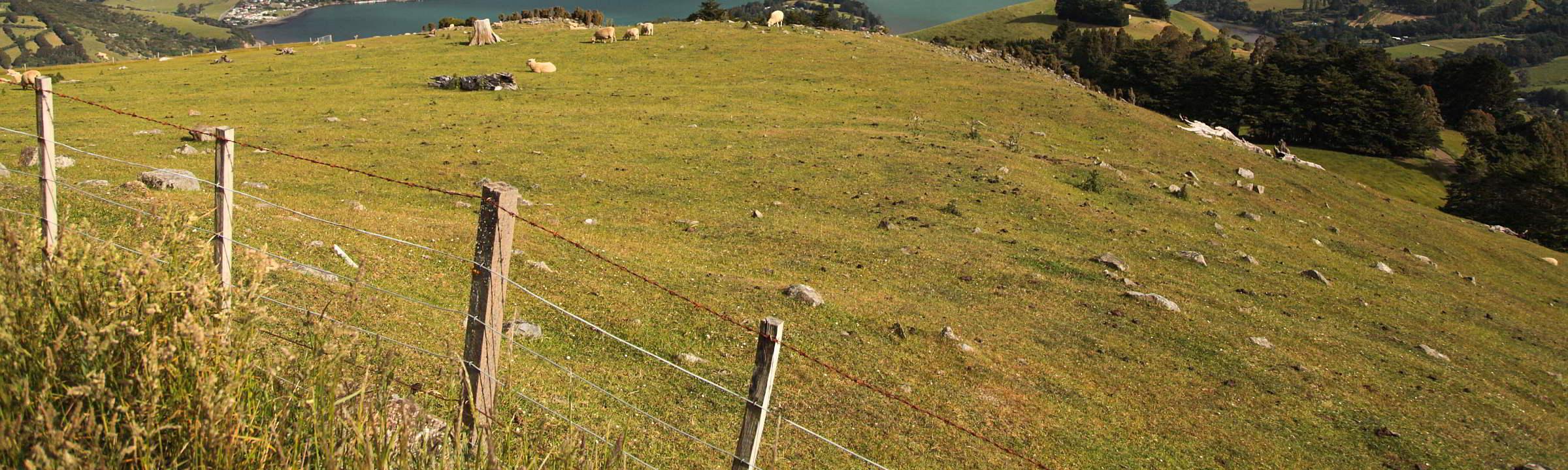 Zaun mit Schafen auf Aoterao Neuseeland