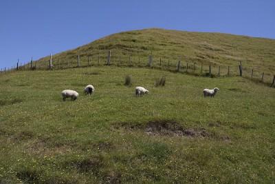 Schafe an der Wharariki Beach