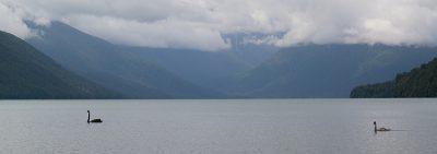 Schwarze Schwäne vor der Kulisse des Lake Rotoroa