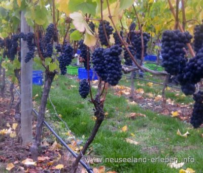 Die Grundzutat eines jeden guten (und schlechten) Weins - die Weintraube