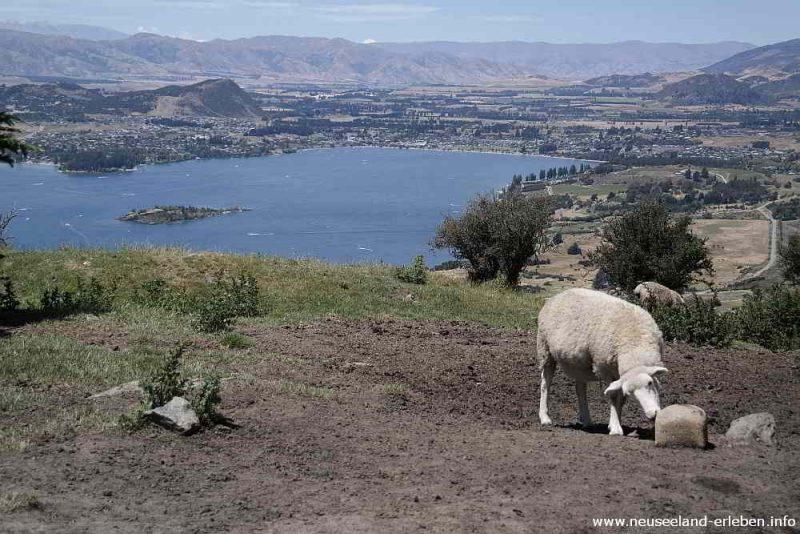 mmh lecker Salz - auch neuseeländische Schafe lieben das Salz