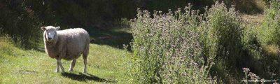 Schafe in Neuseeland: Eine aussterbende Attraktion!