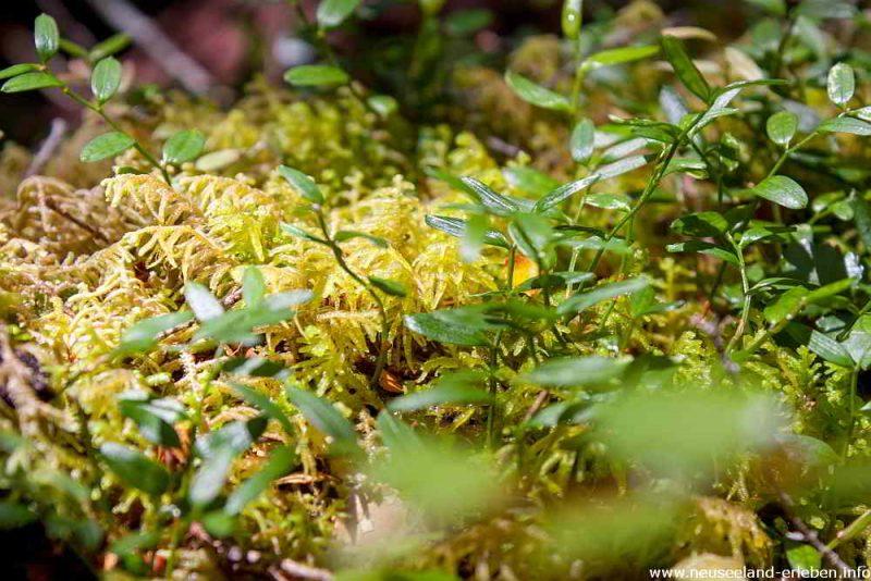 Flora am Haast Pass