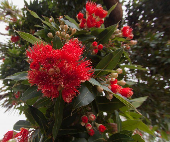 Und auch auf Akaroa gibt es den wunderschönen Pōhutukawa.