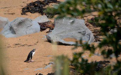 Gelbaugenpinguin am Strand auf dem Weg zum Brutplatz