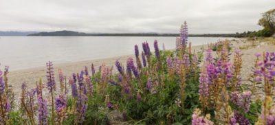 Lupinen wachsen am Strand von Neuseeland