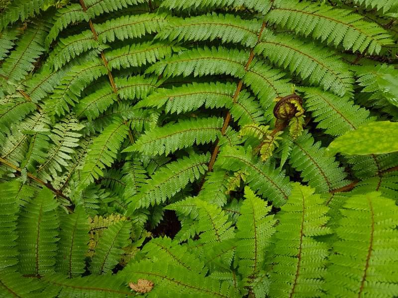 Ein grünes Farn in Neuseeland