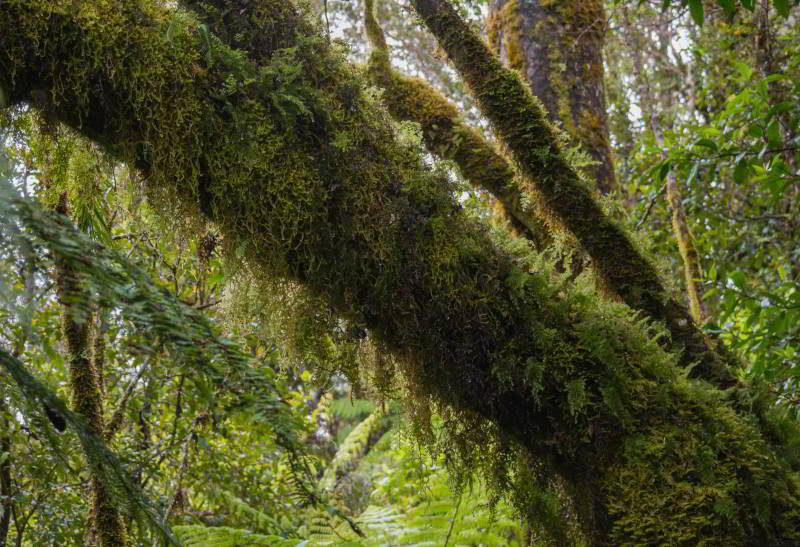 Ein Baumstamm mit herunterhängenden Flechten
