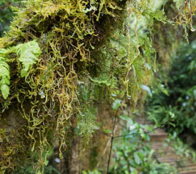 Flechten hängen an einem Baum herab.