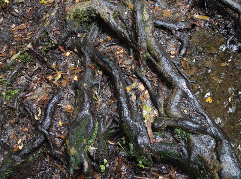 Wurzelwerk von Bäumen