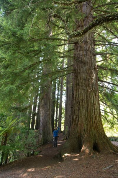 Hamurana Springs mit einem Redwood Wald